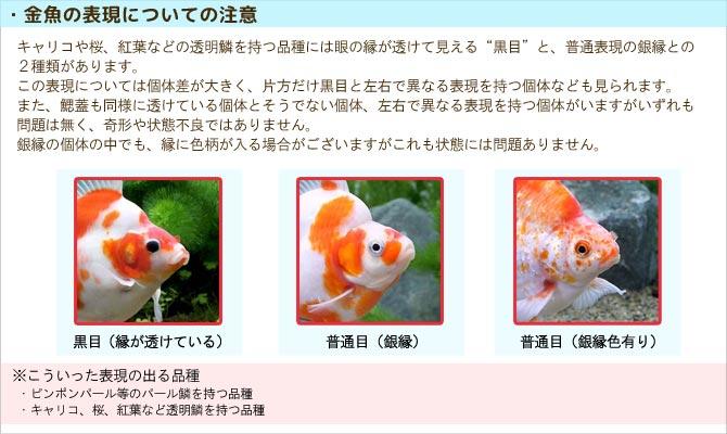 金魚の表現についての注意