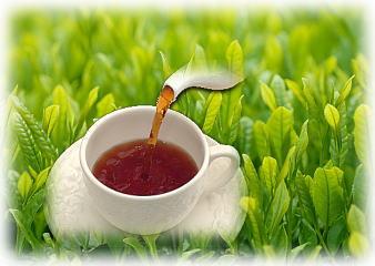同じお茶の木から出来る緑茶と紅茶