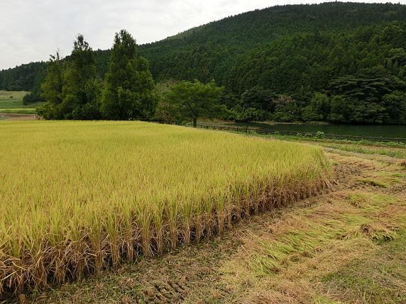 西原村のヒノヒカリ