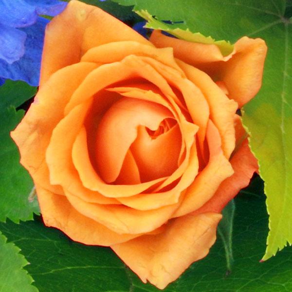 2:オレンジバラ |家族の「絆」「信頼」を表す花