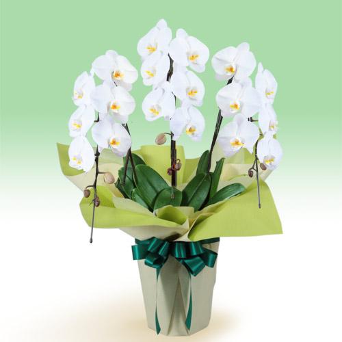 お供え胡蝶蘭 3本立(開花輪白18以上) 511515 |花キューピットの2019 お盆(新盆・初盆)