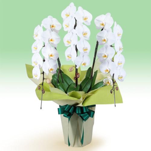 お供え胡蝶蘭 3本立(開花輪白24以上) 511523 |花キューピットの2019 お盆(新盆・初盆)