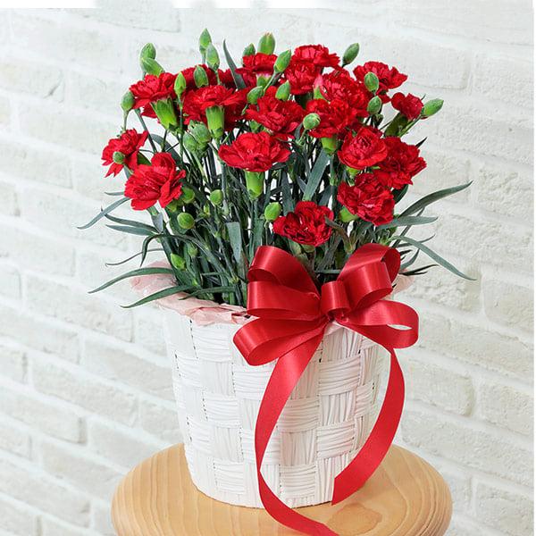 【母の日】カーネーション鉢(赤) 521299 |花キューピットの母の日プレゼント特集2021