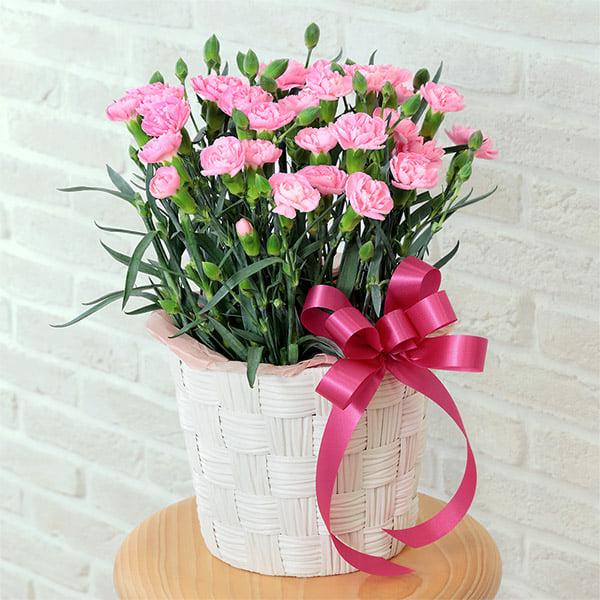 【母の日】カーネーション鉢(ピンク) 521300 |花キューピットの母の日プレゼント特集2021