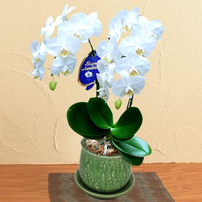 お供えミディ胡蝶蘭 アマビリス2本立 710037  花キューピットの2019 お盆(新盆・初盆)