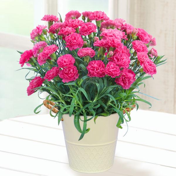 幸せのピンクカーネーション鉢 711036 |花キューピットの2019母の日プレゼント特集