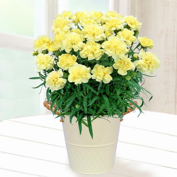幸せの黄色カーネーション鉢 711037 |花キューピットの2019母の日プレゼント特集