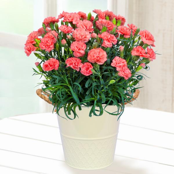 幸せのオレンジカーネーション鉢 711038 |花キューピットの2019母の日プレゼント特集
