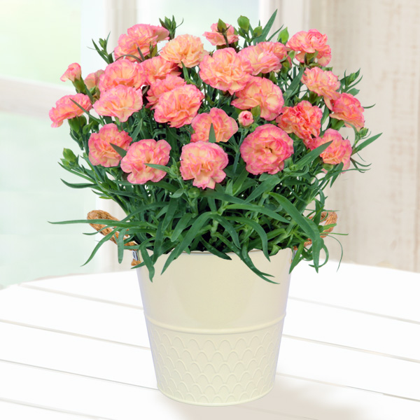 幸せの複色カーネーション(ピンク×黄) 711040 |花キューピットの2019母の日プレゼント特集