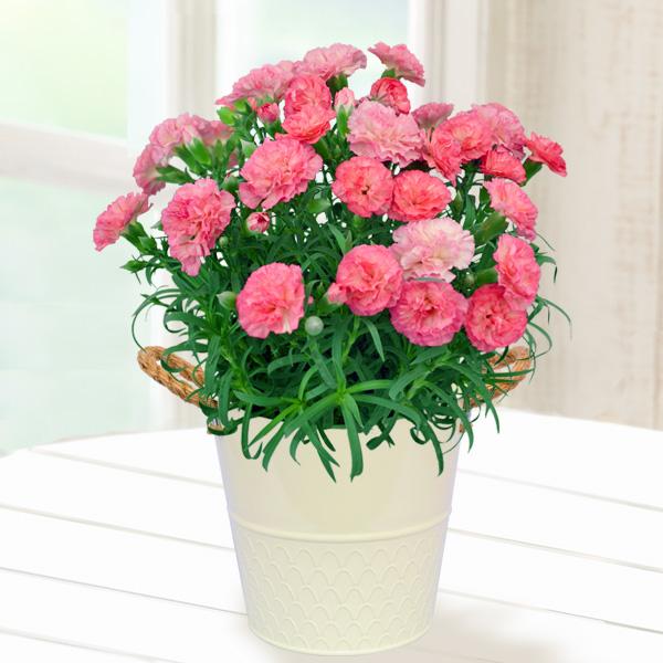 幸せの複色カーネーション(ピンク) 711156 |花キューピットの2019母の日プレゼント特集