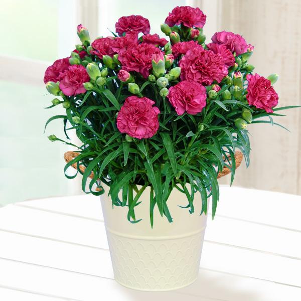 幸せの複色カーネーション(紫) 711158 |花キューピットの2019母の日プレゼント特集