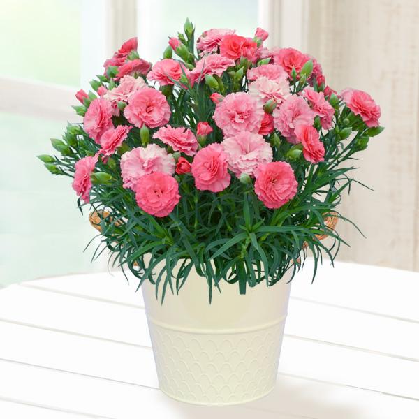 【母の日】幸せの色変わりカーネーション(ピンク) 711159 |花キューピットの2019母の日プレゼント特集