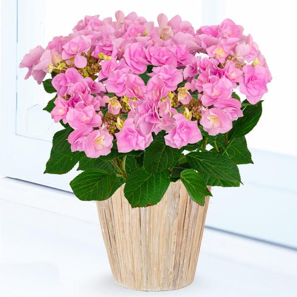 母の日あじさい フェアリーアイ 711160 |花キューピットの2019母の日プレゼント特集