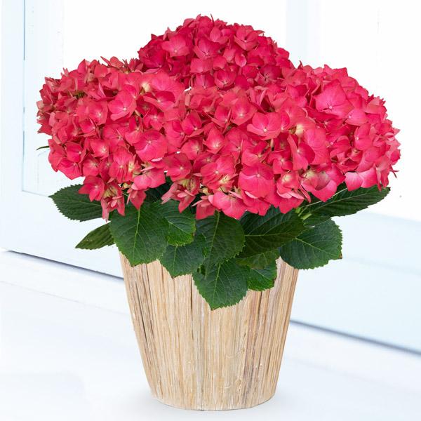 母の日あじさい クリスタルレッド 711164 |花キューピットの2019母の日プレゼント特集