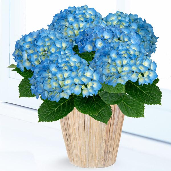 母の日あじさい ブルーダイヤモンド 711165 |花キューピットの2019母の日プレゼント特集