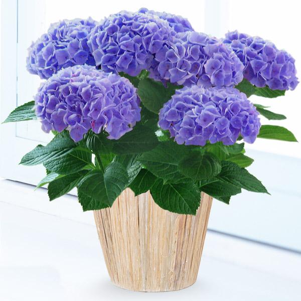 母の日あじさい シーアン(ブルー) 711167 |花キューピットの2019母の日プレゼント特集