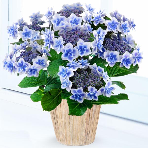 母の日あじさい コンペイトウ(ブルー) 711168 |花キューピットの2019母の日プレゼント特集