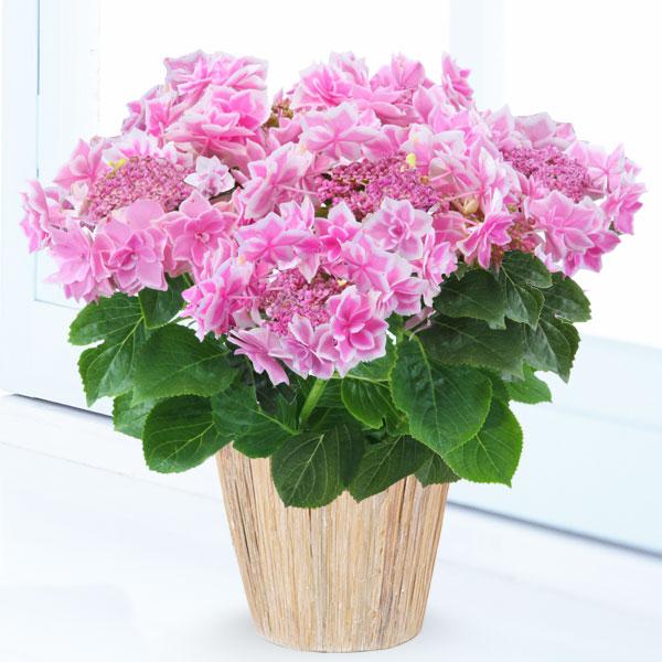 母の日あじさい コンペイトウ(ピンク) 711169 |花キューピットの2019母の日プレゼント特集