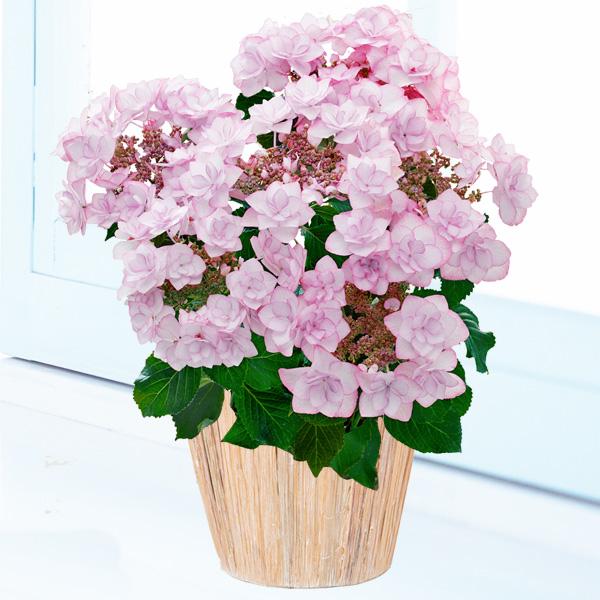 母の日あじさい ピンキーリング 711170 |花キューピットの2019母の日プレゼント特集