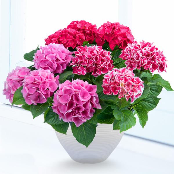 母の日あじさい3色寄せ(赤・ピンク・覆輪ピンク) 711171 |花キューピットの2019母の日プレゼント特集