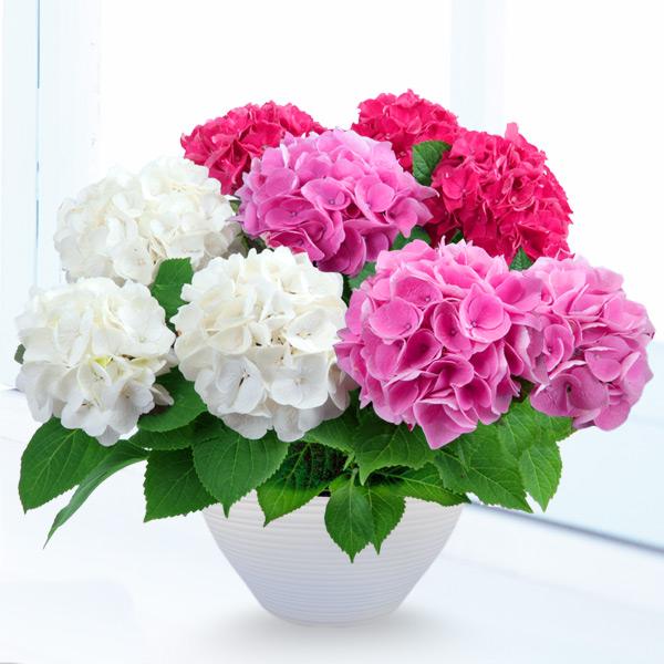 母の日あじさい3色寄せ(赤・ピンク・白) 711172 |花キューピットの2019母の日プレゼント特集