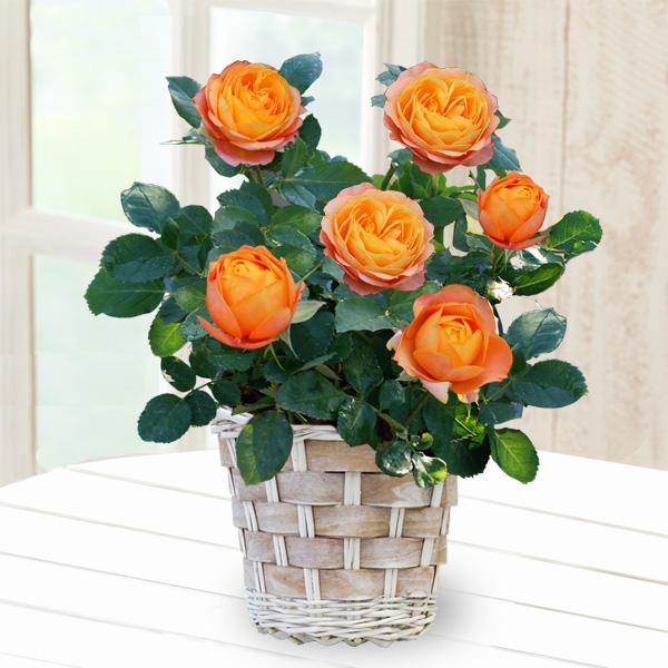 バラ ベビーロマンティカ 711173 |花キューピットの2019母の日プレゼント特集