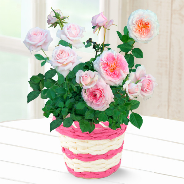 バラ レディメイアンディナ 711175 |花キューピットの2019母の日プレゼント特集