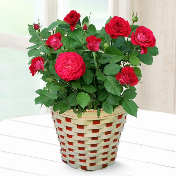 バラ スカーレットオベーション 711176 |花キューピットの2019母の日 産直花鉢特集