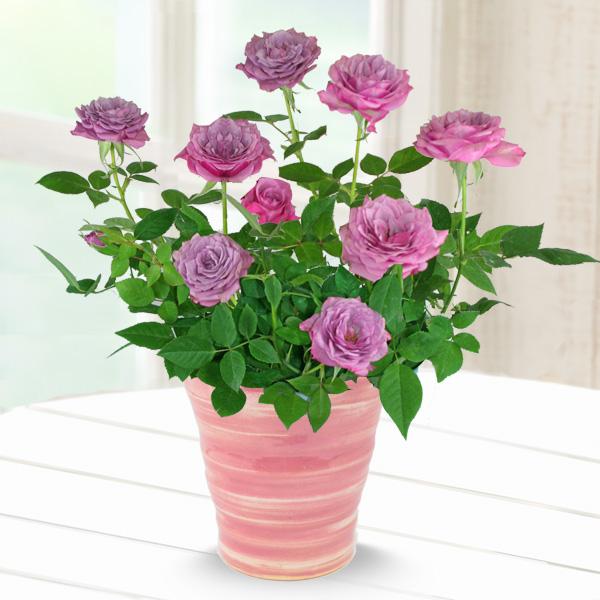 バラ ブルーオベーション 711177 |花キューピットの2019母の日プレゼント特集