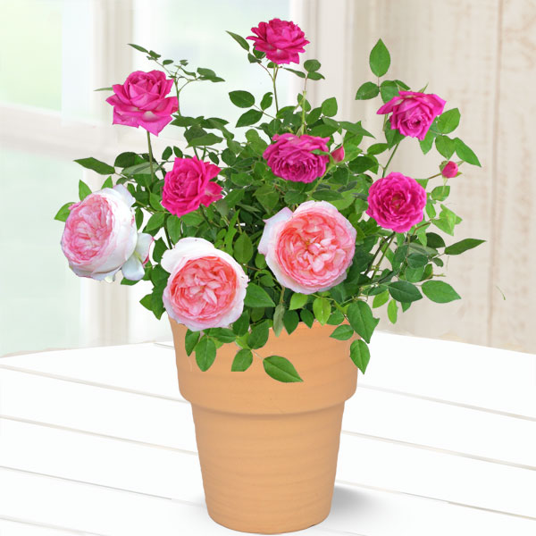 バラ オーバーナイトセンセーション&ホワイトピーチ 711179 |花キューピットの2019母の日プレゼント特集