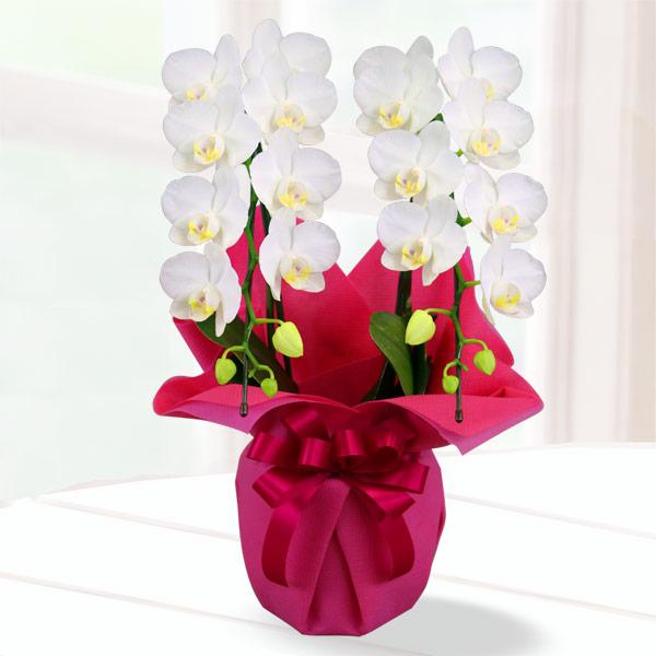 母の日胡蝶蘭 スーパーアマビリス2本立 ラッピング 711182 |花キューピットの2019母の日 産直花鉢特集