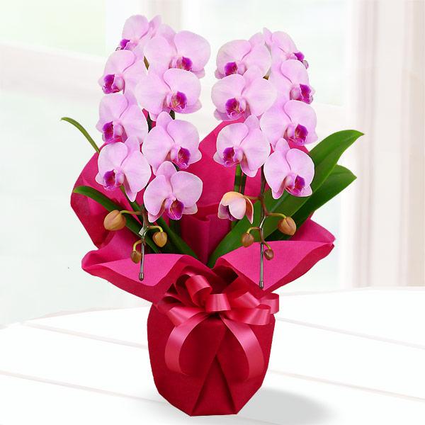 母の日胡蝶蘭 ピンク系2本立 ラッピング 711183 |花キューピットの2019母の日 産直花鉢特集