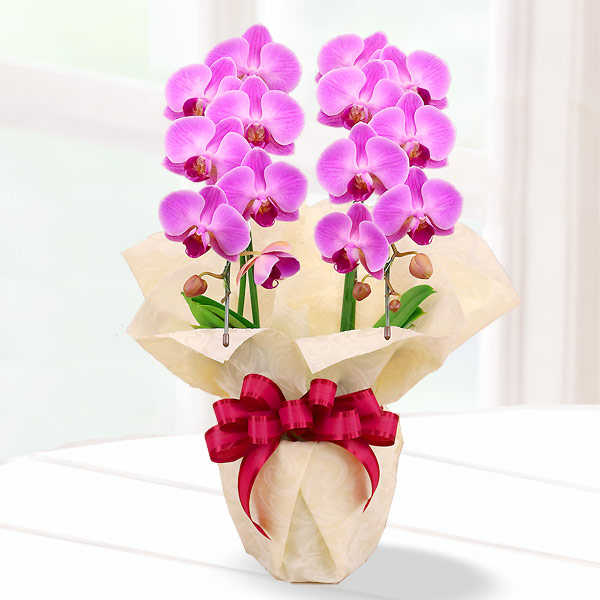 母の日胡蝶蘭 濃いピンク系2本立 ラッピング 711184 |花キューピットの2019母の日 産直花鉢特集