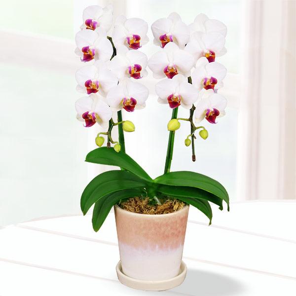 母の日胡蝶蘭 白赤リップ2本立 陶器鉢 711185 |花キューピットの2019母の日 産直花鉢特集