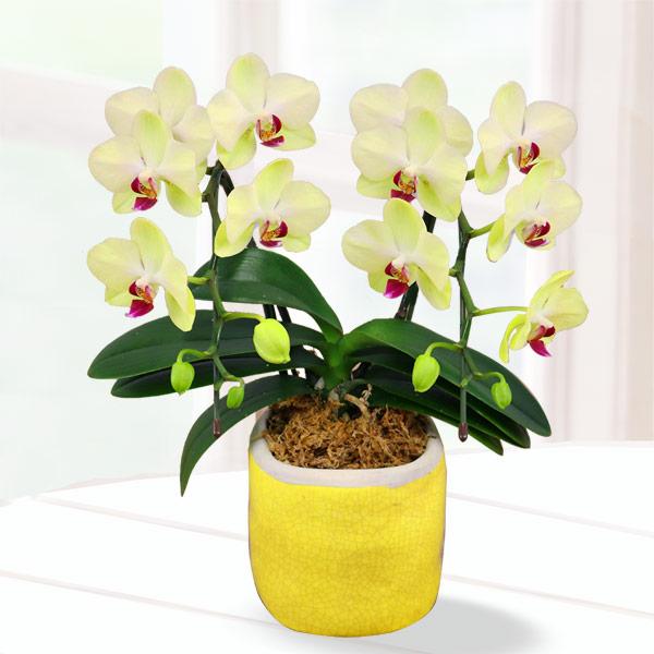 母の日胡蝶蘭 フォーチュン2本立 陶器鉢 711186 |花キューピットの2019母の日 産直花鉢特集