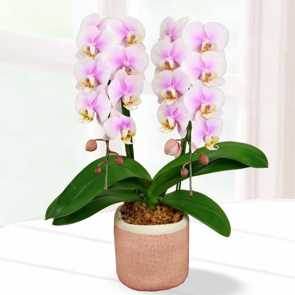 母の日胡蝶蘭 ルーパン2本立 陶器鉢 711187 |花キューピットの2019母の日 産直花鉢特集