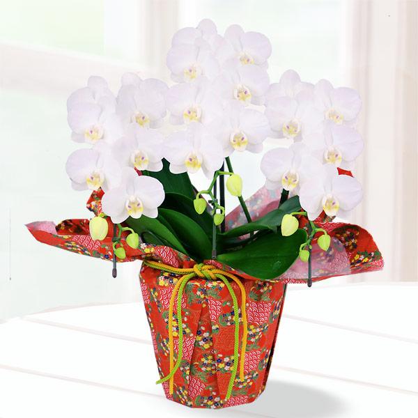 母の日胡蝶蘭 アマビリス3本立 千代紙ラッピング 711188 |花キューピットの2019母の日 産直花鉢特集
