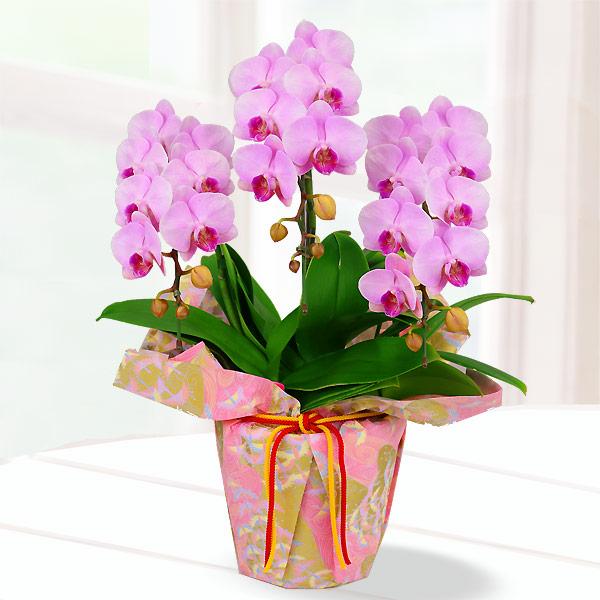 母の日胡蝶蘭 ピンク系3本立 千代紙ラッピング 711190 |花キューピットの2019母の日 産直花鉢特集