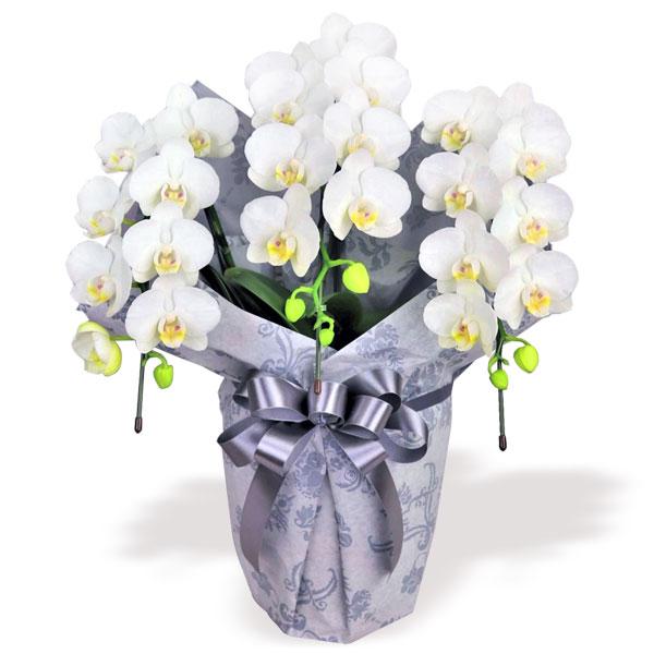 お供えミディ胡蝶蘭スーパーアマビリス3本立(ラッピング付) 711192 |花キューピットの2019 お盆(新盆・初盆)