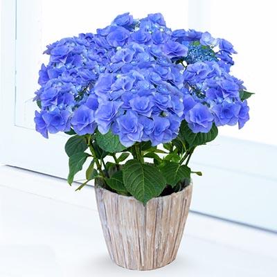 あじさい フェアリーアイ(ブルー) 711194 |花キューピットの2019父の日プレゼント特