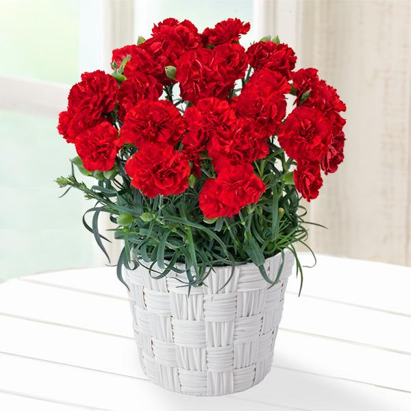 幸せの赤カーネーション鉢 poda01 |花キューピットの2019母の日プレゼント特集