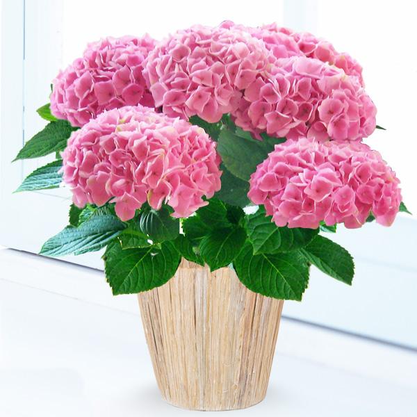母の日あじさい シーアン(ピンク) podb01 |花キューピットの2019母の日プレゼント特集