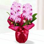 ミディ胡蝶蘭を贈る|母の日プレゼント特集2019