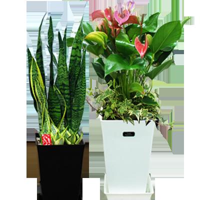 観葉植物|お中元・サマーギフト|花キューピットおすすめの季節のフラワーギフト