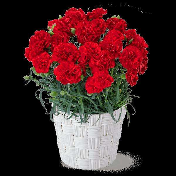 母の日にぴったりカーネーション鉢|花キューピットの母の日におすすめ!人気のプレゼント特集 2019