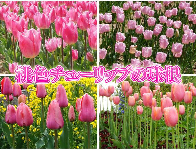 チューリップ 球根 そろい咲き 桃花