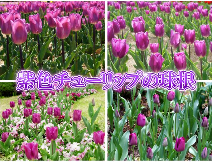 チューリップ 球根 そろい咲き 紫花