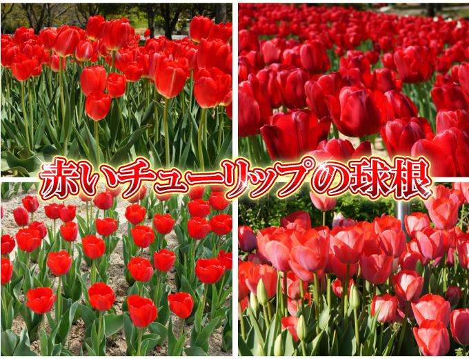 チューリップ 球根 そろい咲き 赤花
