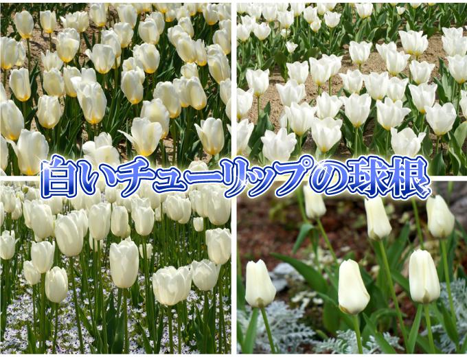 チューリップ 球根 そろい咲き 白花