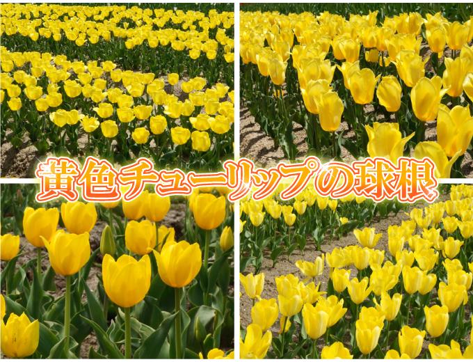チューリップ 球根 そろい咲き 黄花